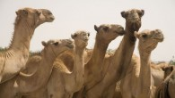 3-Camels_For_Turkana